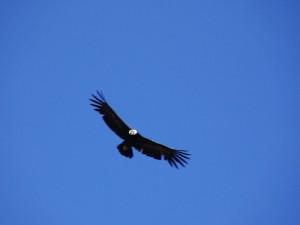 Emblematico Condor