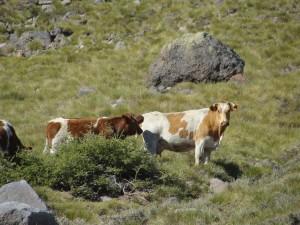 Vacas en las veranadas