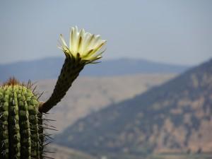 La flor del quisco