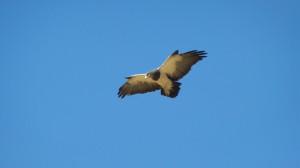 Águila Chilena